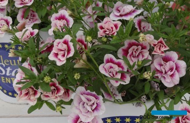 Calibrachoa-MiniFamous-Double-PinkTastic_FleuroStar_2017