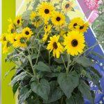 Helianthus 'Sunfinity