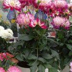 Dahlia LaBella Maggiore 'Rose Bicolour'