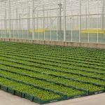 Rozsada selera produkowana w kostkach torfowych