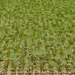 Rozsada warzyw kapustnych produkowana jest w tacach wielokomórkowych wypełnionych substratem z torfu jasnego z firmy Novarbo