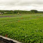 Rozsada papryki do uprawy polowej