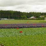 Rozsady warzyw polowych na hartowniku