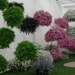 Ekspozycja roślin balkonowych w wiszących pojemnikach - wilec i surfinia