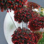 Wśród roślin zaprezentowanych w Zaborzu ważne miejsce zajmowały begonie
