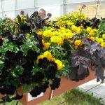 Przykład mieszanej kompozycji roślin balkonowych, rabatowych i ziół w pojemniku