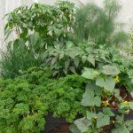 Warzywny ogródek w skrzyni prezentował się efektownie