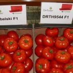 W rejonie Kalisza zainteresowaniem zwykle cieszą się wielkoowocowe odmiany pomidora - zaprezentowano m.in. pomidory Rebelski F1 i DRTH9544 F1
