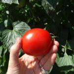 Intensywnie wybarwione, czerwone owoce odmiany Cardyna F1