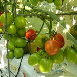 Cardyna F1 odmiana pomidorów śliwkokształtnych firmy HM.Clause