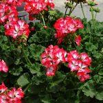 Pelargonium-zonale_Fantasia_Dni Otwarte w firmie Plantpol-Zaborze