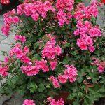 Pelargonium-peltatum_Allegria-Rosa