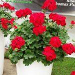 Pelargonium_Champion_Red-Improved