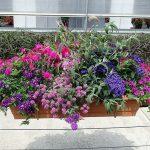 Kompozycja, którą tworzą: Buddleja Buzz 'Pink Purple', Dianthus Suntory 'Pink', Lobularia 'Raspberry Stream', Petunia 'Little Rose', Verbena Vepita 'Purple White'_Plantpol-2017