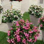 _Begonia-semperflorens_gr-Doble