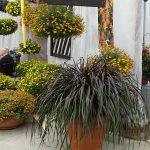 Bidens_i_Pennisetum-Vertigo_Plantpol-2017