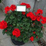 Pelargonium-zonale_Conte_Psenner