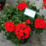 Pelargonium zonale 'Vasco'