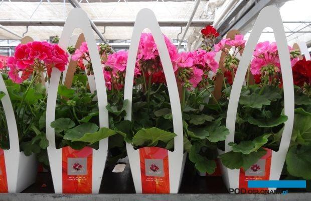 Pelargonie oferowane pod marką Calliope, jako produkty kategorii premium