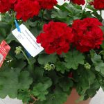 Pelargonia Calliope L 'Dark Red'