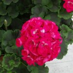 Pelargonia Calliope M 'Hot Pink'