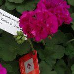Pelargonia Calliope C 'Violet'