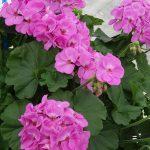 "Pelargonia Calliope M 'Lavender' - ""eksperymentalna"""