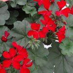 Pelargonia Calliope Cascade (dawne Caliente) 'Red''