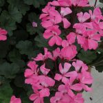Pelargonia Calliope Cascade (dawne Caliente) 'Dark Pink'