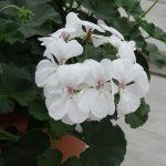 Pelargonia Calliope Landscape (dawne Caliente) 'Platinum White'