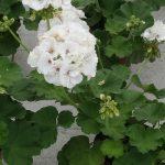 Pelargonia Calliope C 'White'