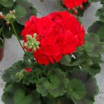 Pelargonia Calliope C 'Scarlet'
