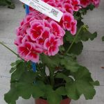Pelargonia Calliope M 'Rose Splash'