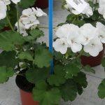Pelargonia Calliope M 'White''