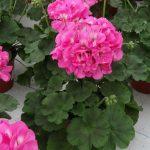Pelargonia Calliope M 'Pink'