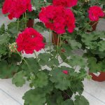 Pelargonia Calliope M 'Hot Rose'