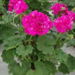 Pelargonia Calliope M 'Deep Rose'