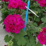 Pelargonia Calliope M 'Violet'