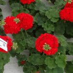 Pelargonia Calliope M 'Scarlet Red'