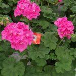 Pelargonia Calliope L 'Pink'