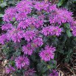 Monarda_Pardon-My_Purple_