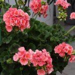 Pelargonium-zonale_Rosino_Psenner