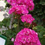Pelargonium-zonale_Giotto-Impr_