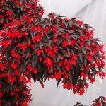 Begonia_Summerwings-Dark-Elegance