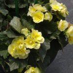 Begonia_Solenia_Yellow