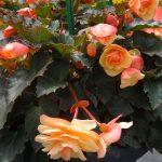 Begonia_Fragrant-Falls_Peach