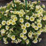 Petunia-Surfinia-Yellow