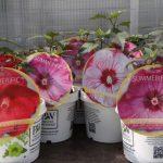 Hibiscus - odmiany z grupy Summerific'_Plantpol-2017