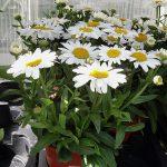 Leucanthemum 'White Mountain'_Plantpol-2017