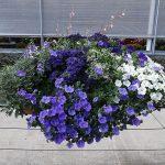Kompozycja, w której są M.in.: Ajania pacifica 'Silver and Gold', Euphorbia 'Diamond Star', Heliotropium'Midnight Sky', Petunia Veranda 'White' i Surfinia 'Sky Blue'_Plantpol-2017